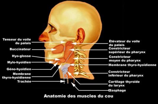 image photo cou anatomie des muscles anatomie g n rale vulgaris m dical. Black Bedroom Furniture Sets. Home Design Ideas