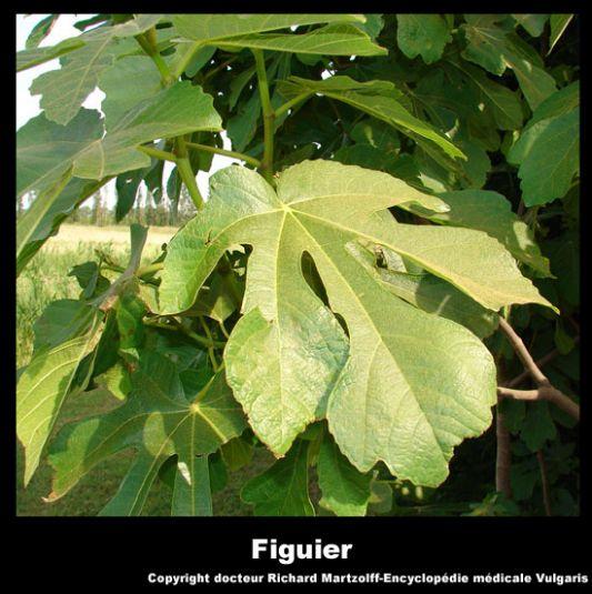 image photo figuier plantes m dicinales vulgaris m dical. Black Bedroom Furniture Sets. Home Design Ideas