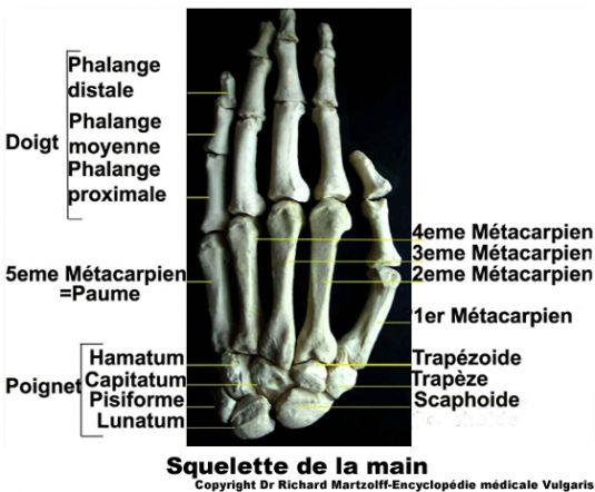 Image, Photo Main (anatomie osseuse), Anatomie générale..