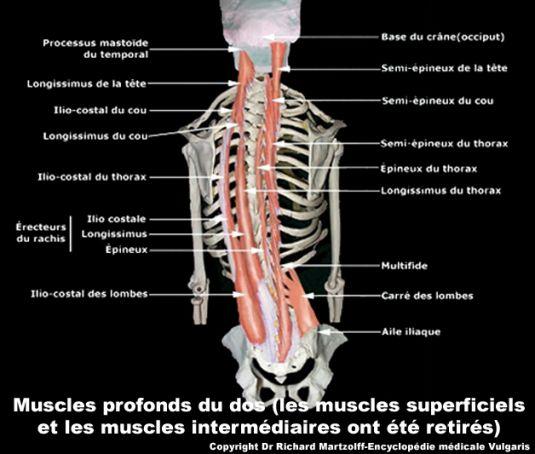 muscles-profonds-du-dos.jpg