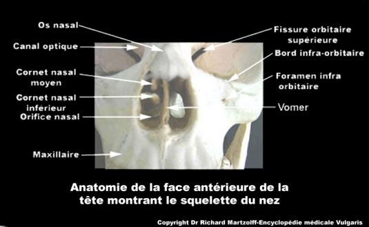 http://www.vulgaris-medical.com/sites/default/files/field/image/images/2012/06/20/nez-de-face-anatomie-du-squelette.jpg