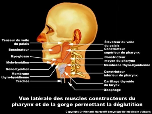 Image photo pharynx vue lat rale anatomie orl for Interieur de la bouche blanche