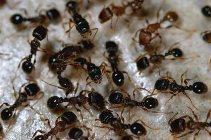 maison saine 5 produits naturels pour loigner les fourmis vulgaris m dical. Black Bedroom Furniture Sets. Home Design Ideas