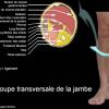 Anatomie de la coupe transversale de la jambe
