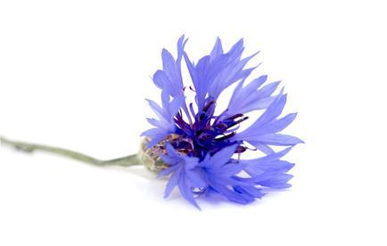 """Résultat de recherche d'images pour """"bleuet"""""""