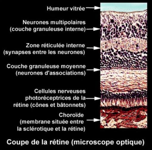 Image Photo Rétine Vue Au Microscope Ophtalmologie Vulgaris