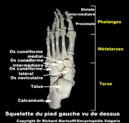 les os du pied gauche