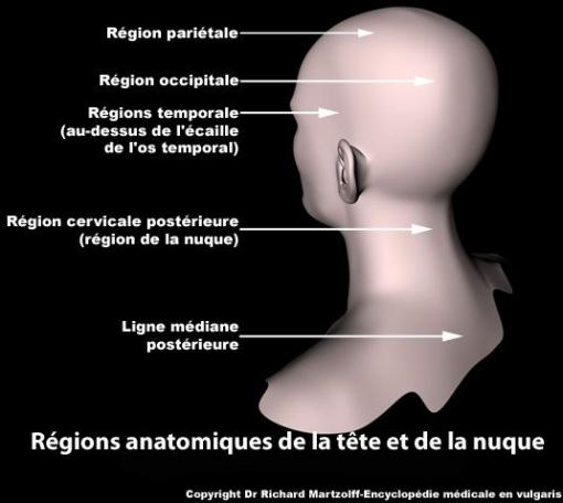 Zones anatomiques de la tête et de la nuque (schéma)