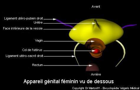 Appareil génital féminin vu de dessous (schéma)
