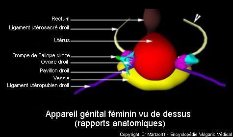 Appareil génital féminin vu de dessus (schéma)