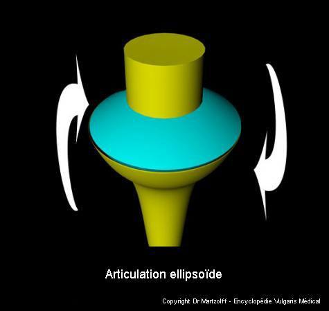 Articulation ellipsoïde (schéma)