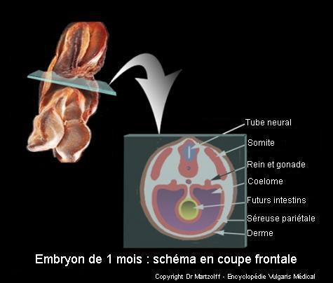 Embryon de 1 mois : schéma en coupe frontale