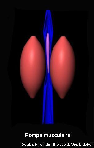 Pompe musculaire (schéma)