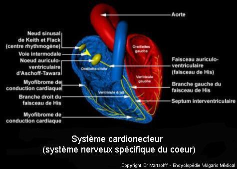 Système cardionecteur (schéma)
