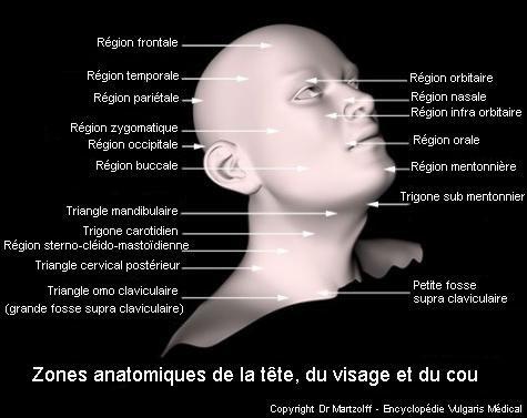 Tête, visage et cou : zones anatomiques (schéma)