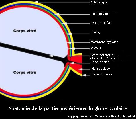 Oeil : anatomie de la partie postérieure du globe oculaire (schéma)