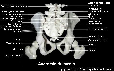 Anatomie du bassin (schéma)