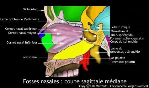 Fosses nasales : coupe sagittale médiane (schéma)