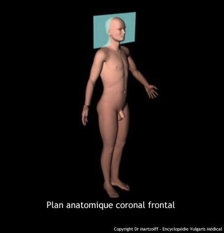 Plan anatomique coronal frontal (schéma)