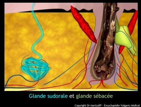 Glande sudorale et glande sébacée (schéma)