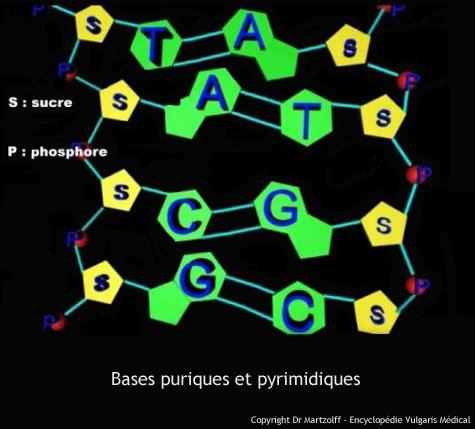 Bases puriques et pyrimidiques (schéma)