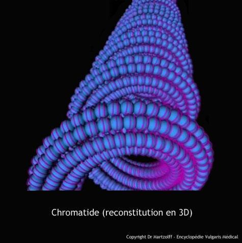 Chromatide (reconstitution en 3D)