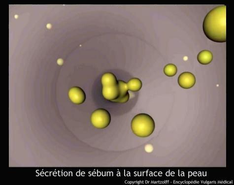 Sébum : sécrétion à la surface de la peau (schéma)