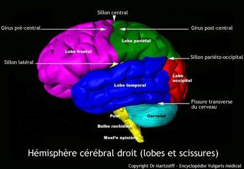Cerveau : hémisphère gauche (schéma)