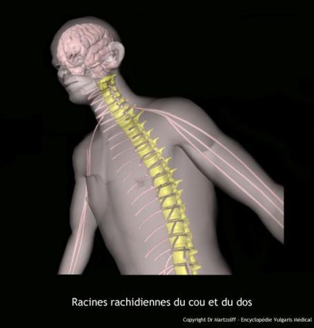 Racines rachidiennes (schéma)