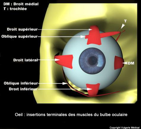 Œil - insertions terminales des muscles du globe oculaire