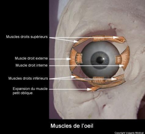 Œil - vue antérieure des muscles oculaires