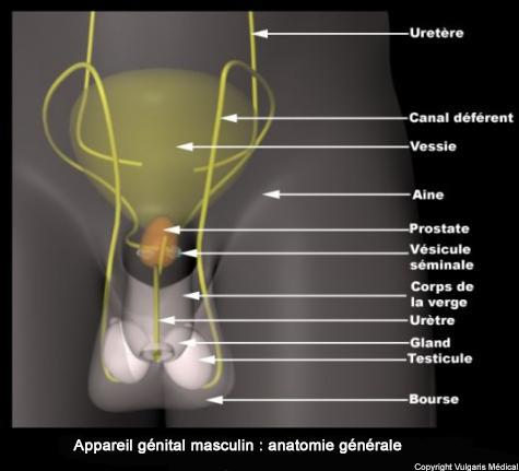 Appareil génital masculin (anatomie générale)