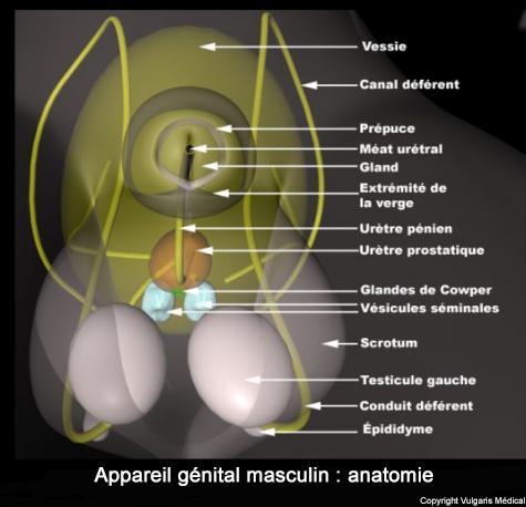 Appareil génital masculin : anatomie