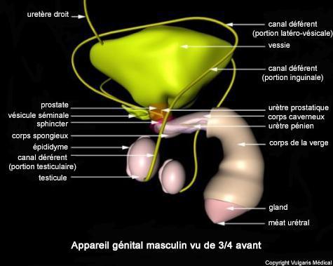 Appareil génital masculin vu de 3/4 avant