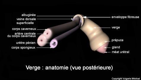 Verge : anatomie (vue postérieure)