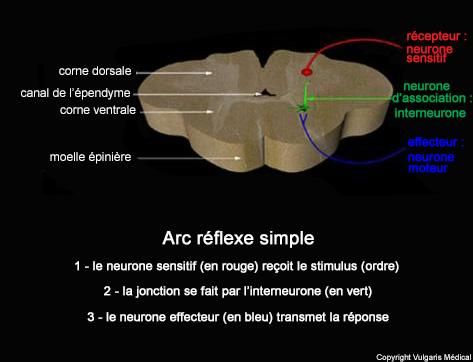 Arc réflexe simple