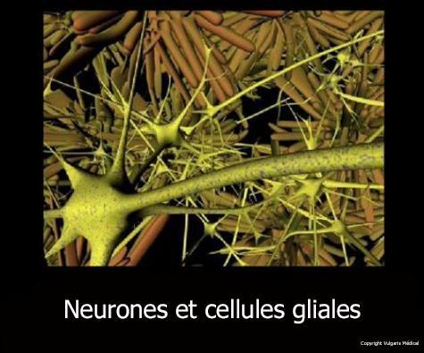 Neurones et cellules gliales