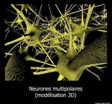 Neurones multipolaires