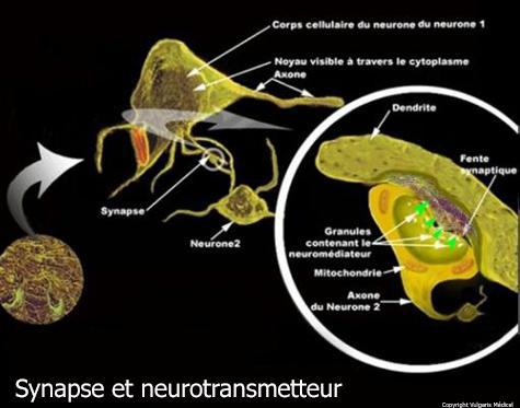 Synapse et neurotransmetteur