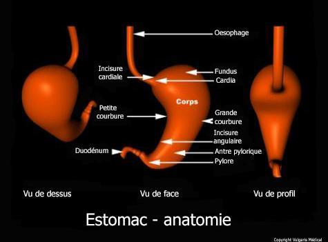 Estomac - anatomie générale