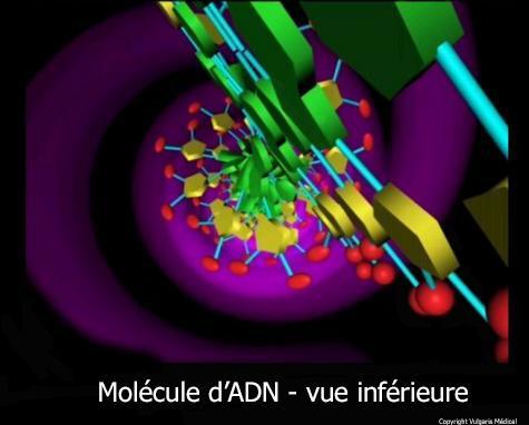 ADN : vue inférieure (schéma)