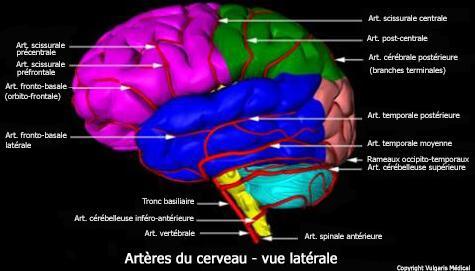 Artères du cerveau (vue latérale)