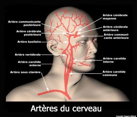 Artères du cerveau