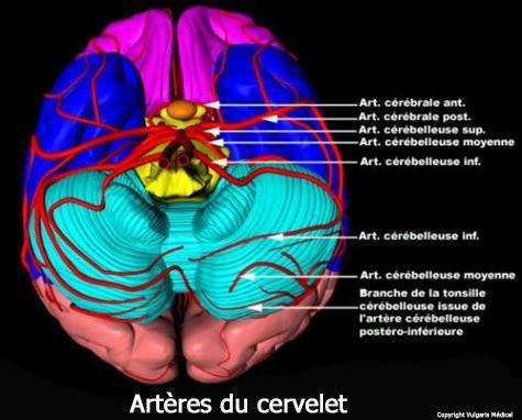 Artères du cervelet