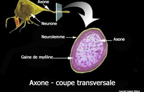 Axone - coupe transversale