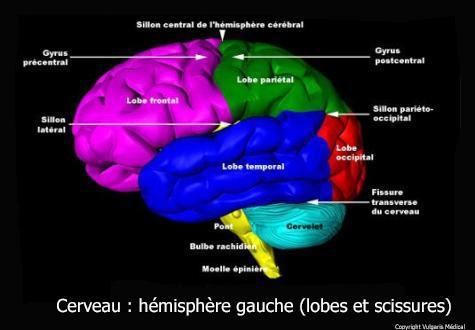 Cerveau : hémisphère gauche (lobes et scissures)