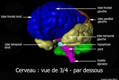 Cerveau vu de trois-quarts par dessous