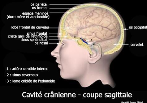 Cavité crânienne - coupe sagittale
