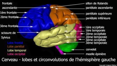 Cerveau - lobes et circonvolutions cérébrales de l'hémisphère gauche