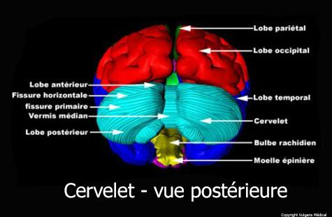 Cervelet (vue postérieure)